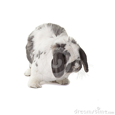 Cute Grey and White Bunny Rabbit Facing Right