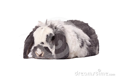 Cute Grey and White Bunny Rabbit Lying Down