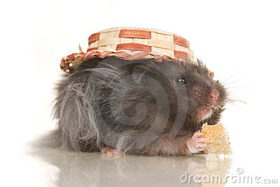 Cute grey young home hamster in hat on white