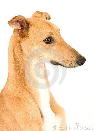 Free Cute Greyhound Stock Photos - 4412103
