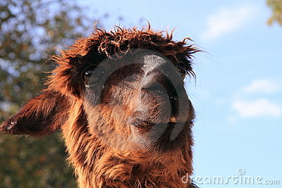 Cute hairy lama portrait