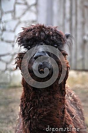 Cute hairy lama portrait