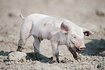 Cute happy baby pig