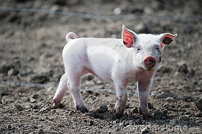 Cute happy baby pig