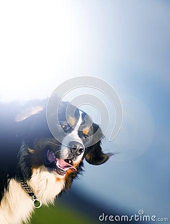 Cute happy dog portait. Bernese mountain dog