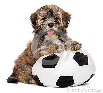 Free Cute Happy Havanese Puppy Dog Playing With A Soccer Ball Toy Stock Photos - 61655803