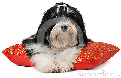 Cute havanese puppy is lying on a red xmas cushion