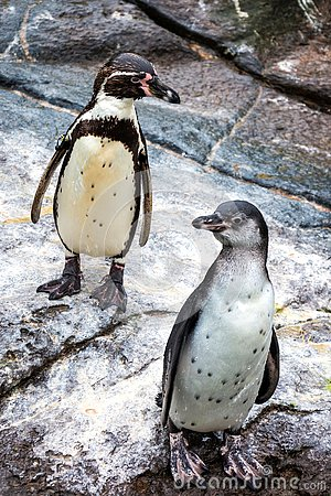 Free Cute Humboldt Penguins At Atlantic Sea Park In Alesund Royalty Free Stock Photos - 132316508
