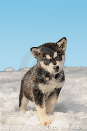 Cute husky puppy on the snow