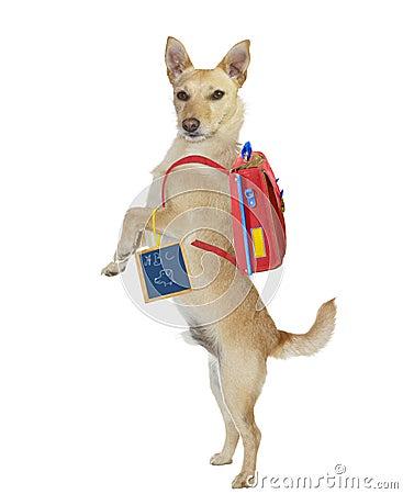 Cute school boy dog wearing a backpack