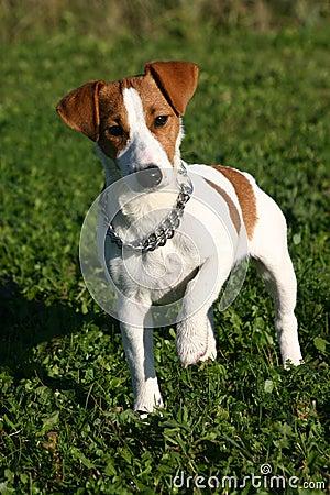 Cute Jack Russel Terrier Stock Photo - Image: 1683940