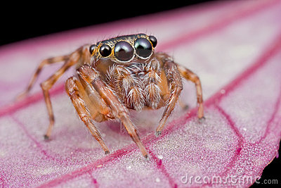 A cute jumping spider