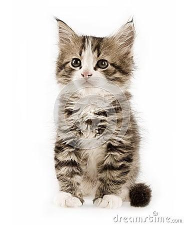 Free Cute Kitten Stock Photos - 3335443