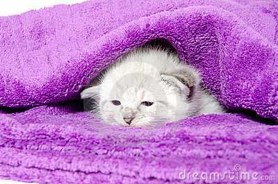 Cute kitten in a blanket