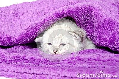 Cute kitten in a blanket