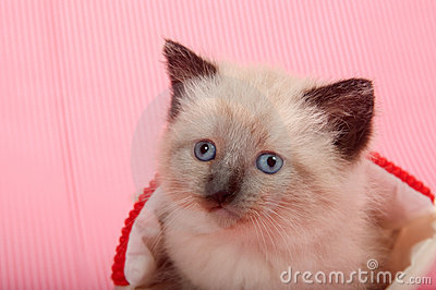 Cute kitten with blue eyes