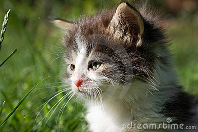 Cute kitten with bushy hair