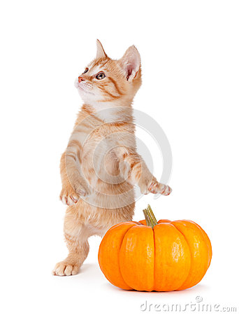 Free Cute Kitten Caught Stealing A Mini Pumpkin On White. Royalty Free Stock Photography - 43370647