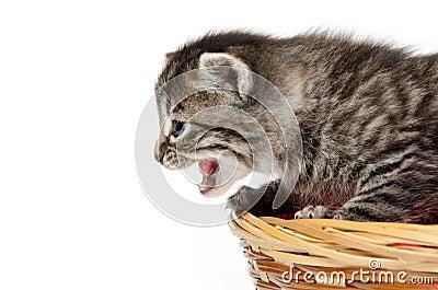 Cute kitten crying