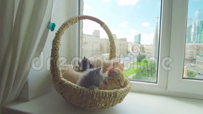 Cute kitten with mother cat. In a basket by the window stock video footage