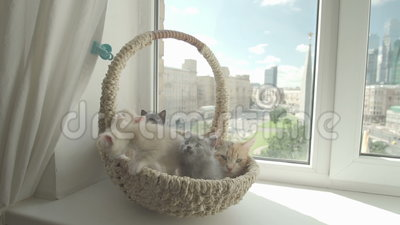 Cute kitten with mother cat. In a basket by the window stock video