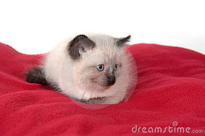 Cute kitten on red blanket