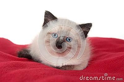 Cute kitten on red blanket