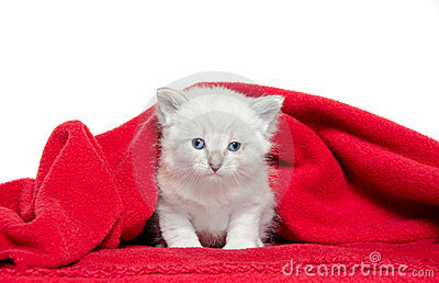 Cute kitten and red blanket