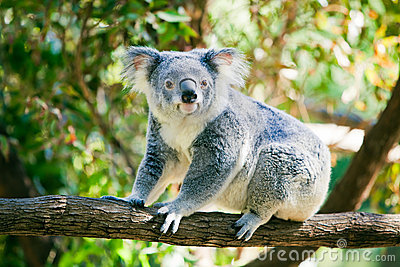 Cute koala in its natural habitat of gumtrees