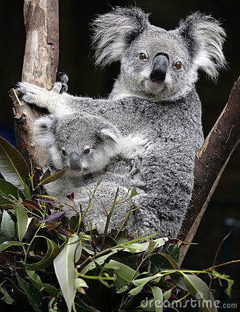 Free Cute Koala Mother And Baby Stock Photos - 6606093