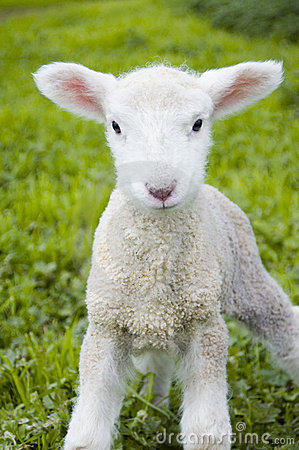Free Cute Lamb Stock Image - 1287671