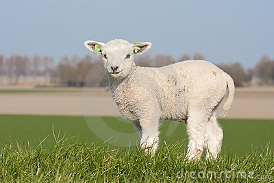Cute lamb in spring, The Netherlands