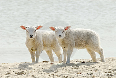 Cute lambs on the beach in spring