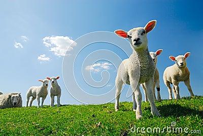 Cute lambs in spring