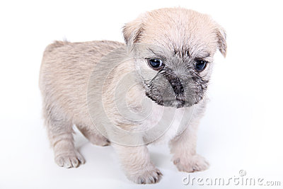 Cute light brown puppy on white background