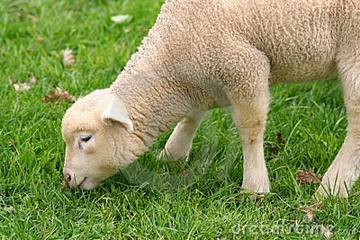Cute little baby sheep