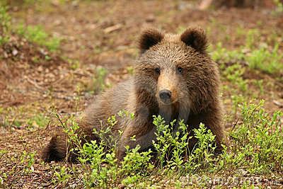 Cute little brown bear sitting behind bush