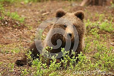 Cute little brown bear sitting behind bush