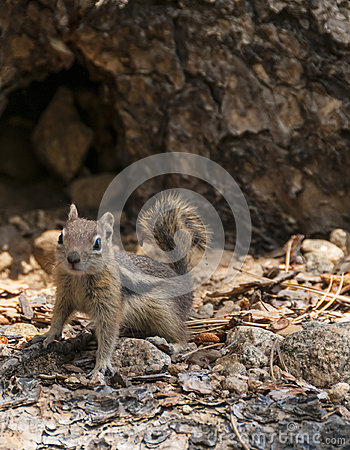 Cute little chipmunk looking towards the camera