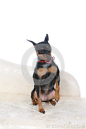 Cute little dog sitting with one paw raised