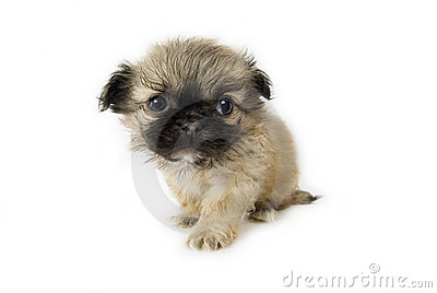 Cute little pekingese puppy