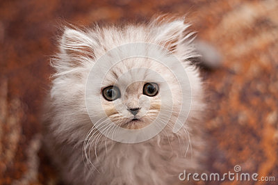 Cute little Persian kitten close up