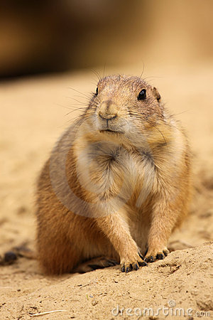 Cute little prairie dog looking to the left