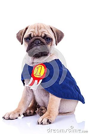 Cute little pug puppy dog champion