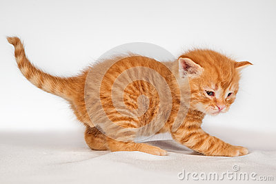 Red hair kitten