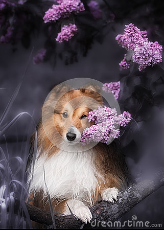 Free Cute Little Sheltie Dog With A Bouquet Of Flowers Stock Image - 77491591