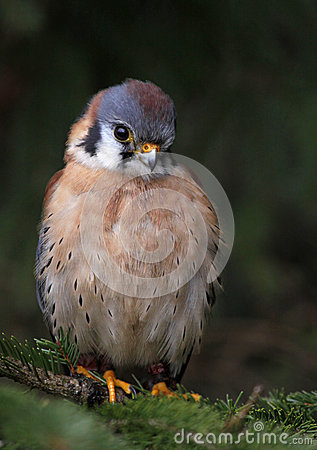 Cute Little Sparrow Hawk