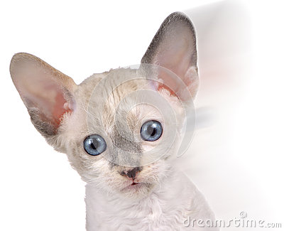 Cute Little White Cornish Rex Kitten in Motion