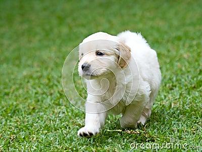 golden retriever puppy cute. Purebred Golden Retriever