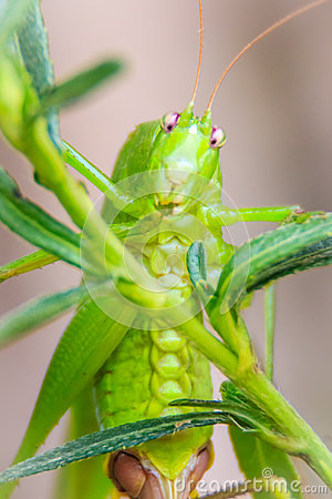 Free Cute Long-horned Grasshoppers, Or Tettigoniidae, Or Leafhopper P Stock Photography - 84621292